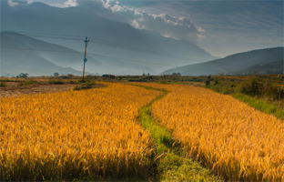 Rice Harvest in Paro, Bhutan